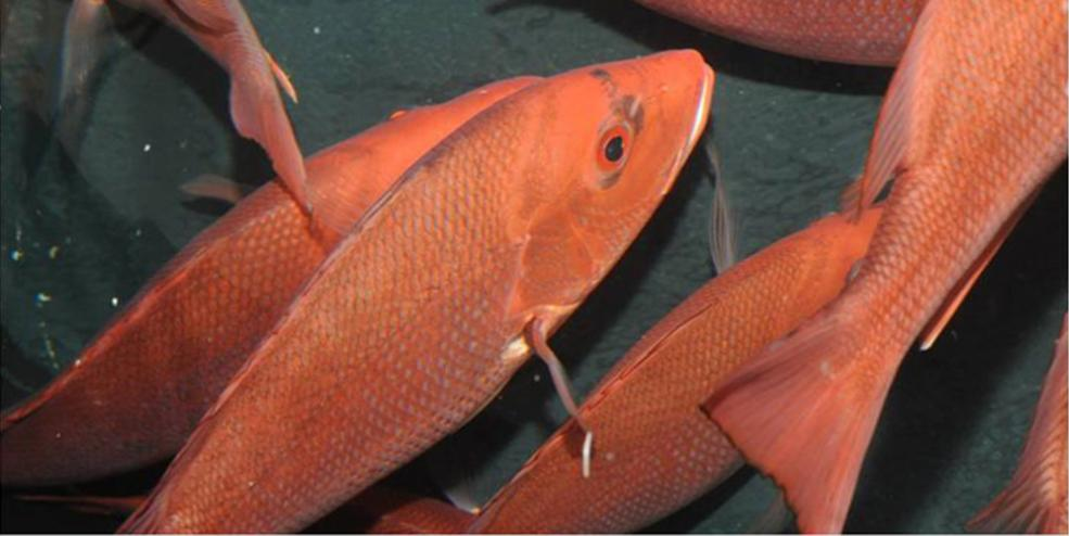 Red snapper is an iconic Gulf species and our research goal is to provide the sound scientific data fishery managers need to better enhance red snapper populations.
