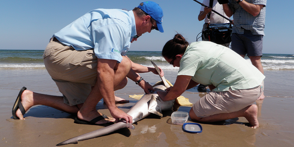 CSSC staff tagging a bull shark at Padre Island National Seashore
