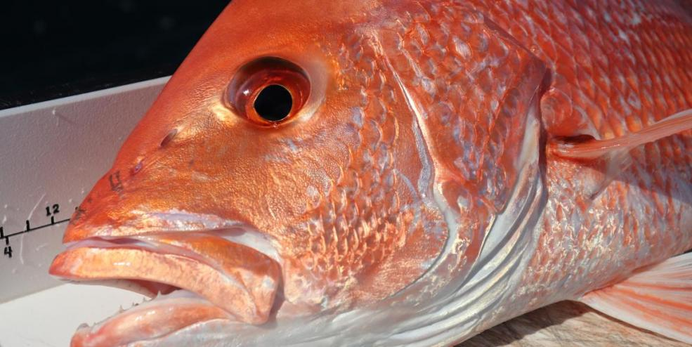 Red Snapper [Lutjanus campechanus]