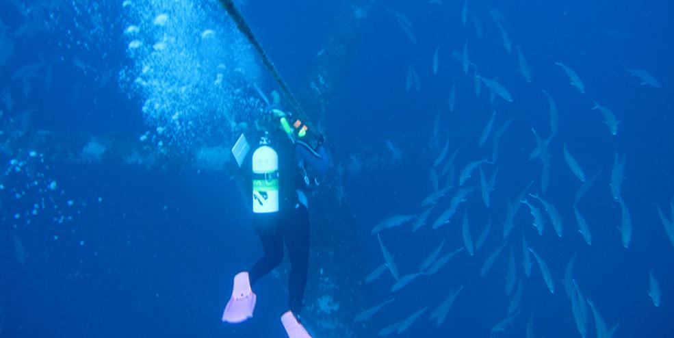 A research diver descending on artificial reef site MU-A-85 with a large school of Greater Amberjack below. Although platforms lose much of the upper water column structure when reefed, we still document large numbers of fish associated with these structures.