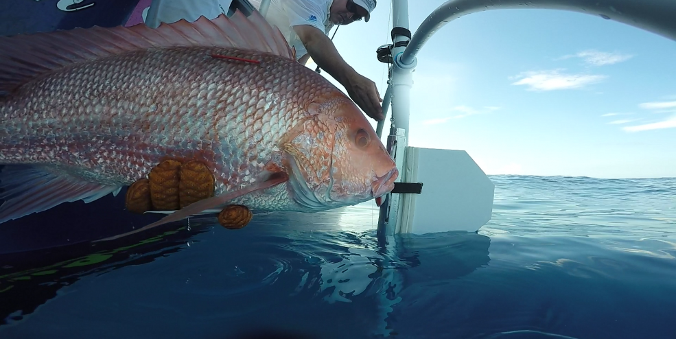 Releasing a Red Snapper using a SeaQualizer