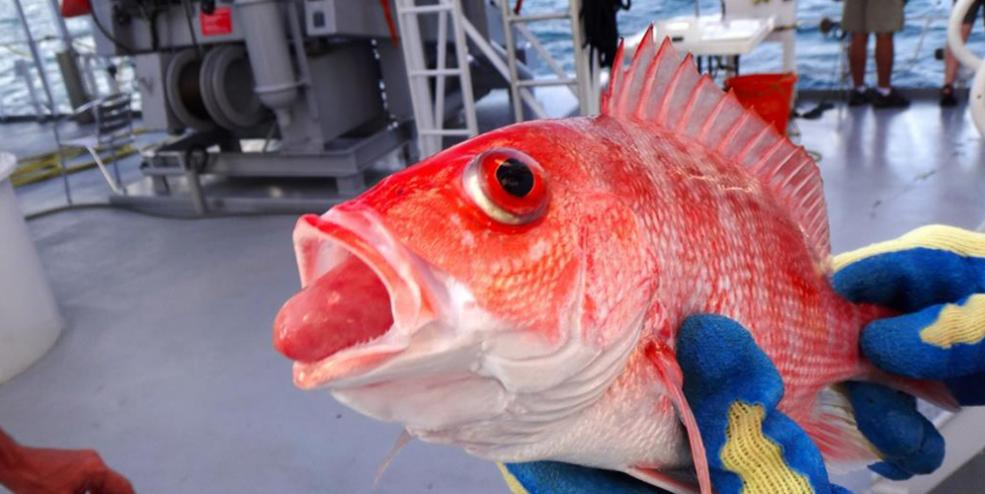 "Red snapper experience a suite of pressure-related injuries (collectively called ""barotrauma"") when brought to the surface during fishing. These may include the stomach everted from the mouth and bulging eyeballs."