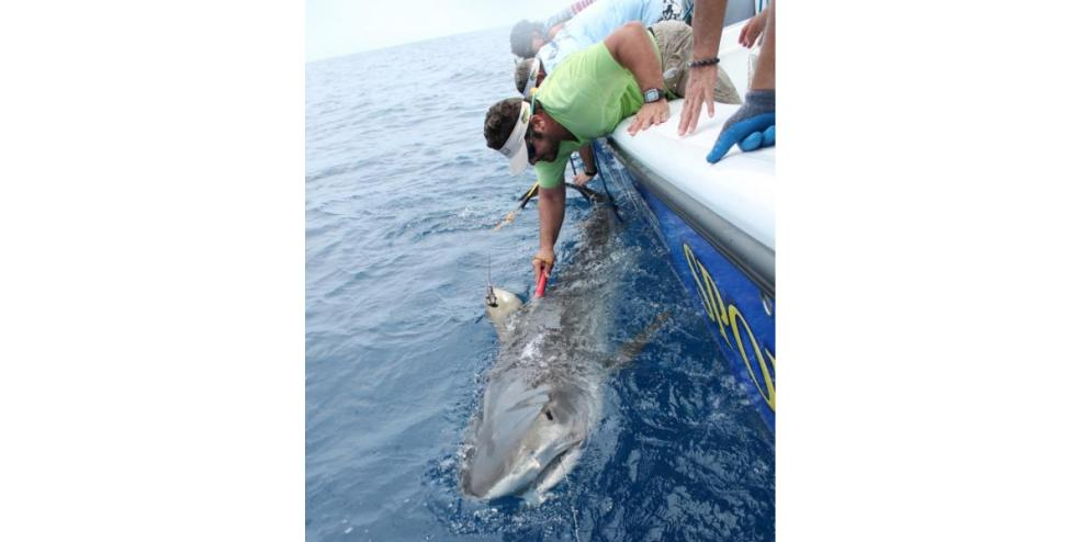 Sam Houston, a male tiger shark that was tagged by CSSC in August 2014
