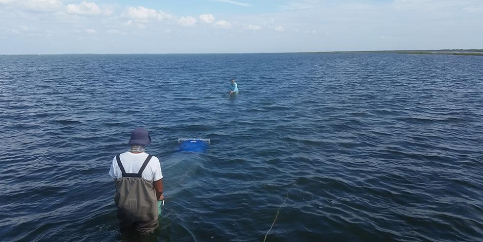 Pulling an epibenthic sled through seagrass beds to sample small nekton.