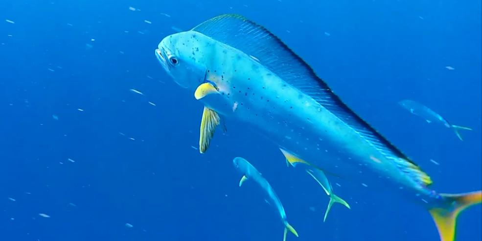 photo of Dolphinfish during sampling