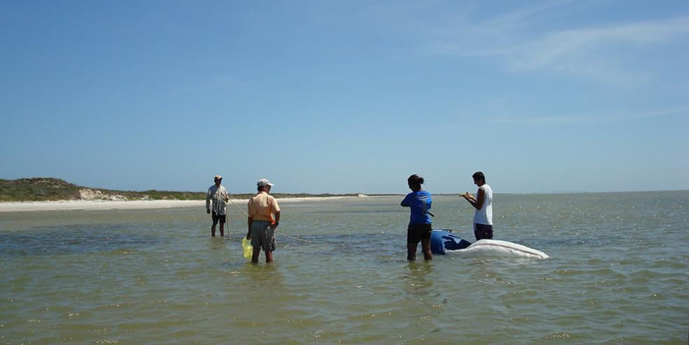 Sampling a fragmented seagrass habitat using an epibenthic sled.