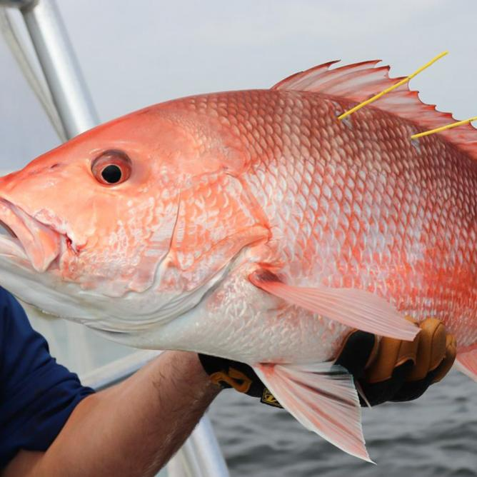 red snapper count