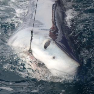 Meet Our Sharks | Sportfish Center